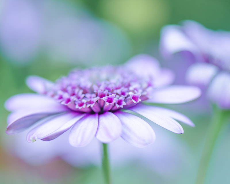 Photograph Purple Daisy by Mary Carver on 500px