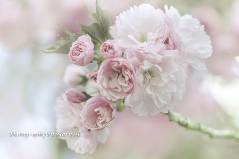 Photograph Cherry in Bloom by Mary Carver on 500px