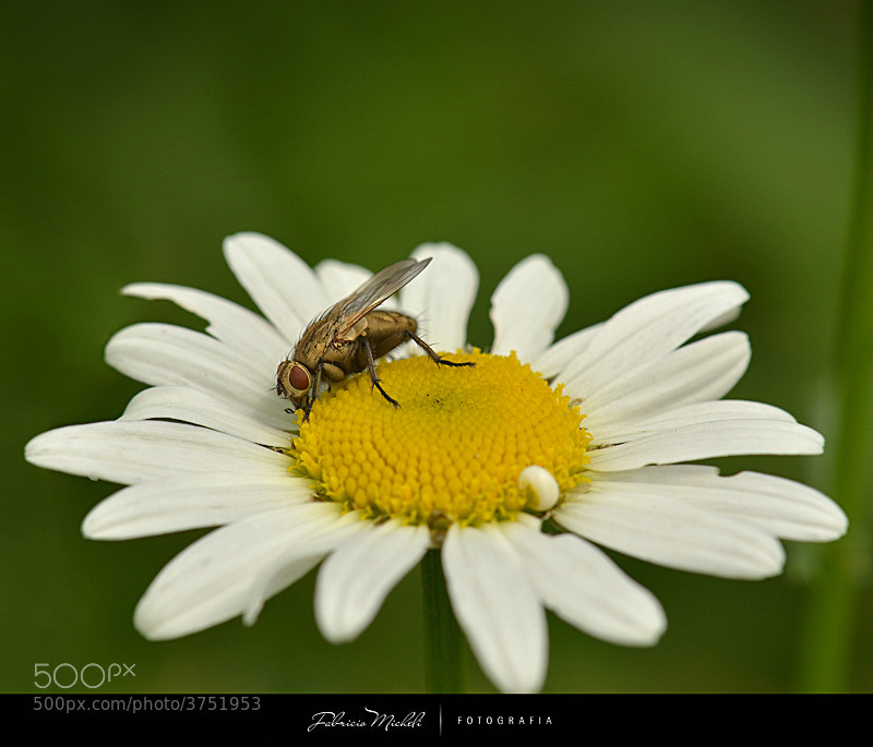Photograph Daisyfly by Fabricio Micheli on 500px