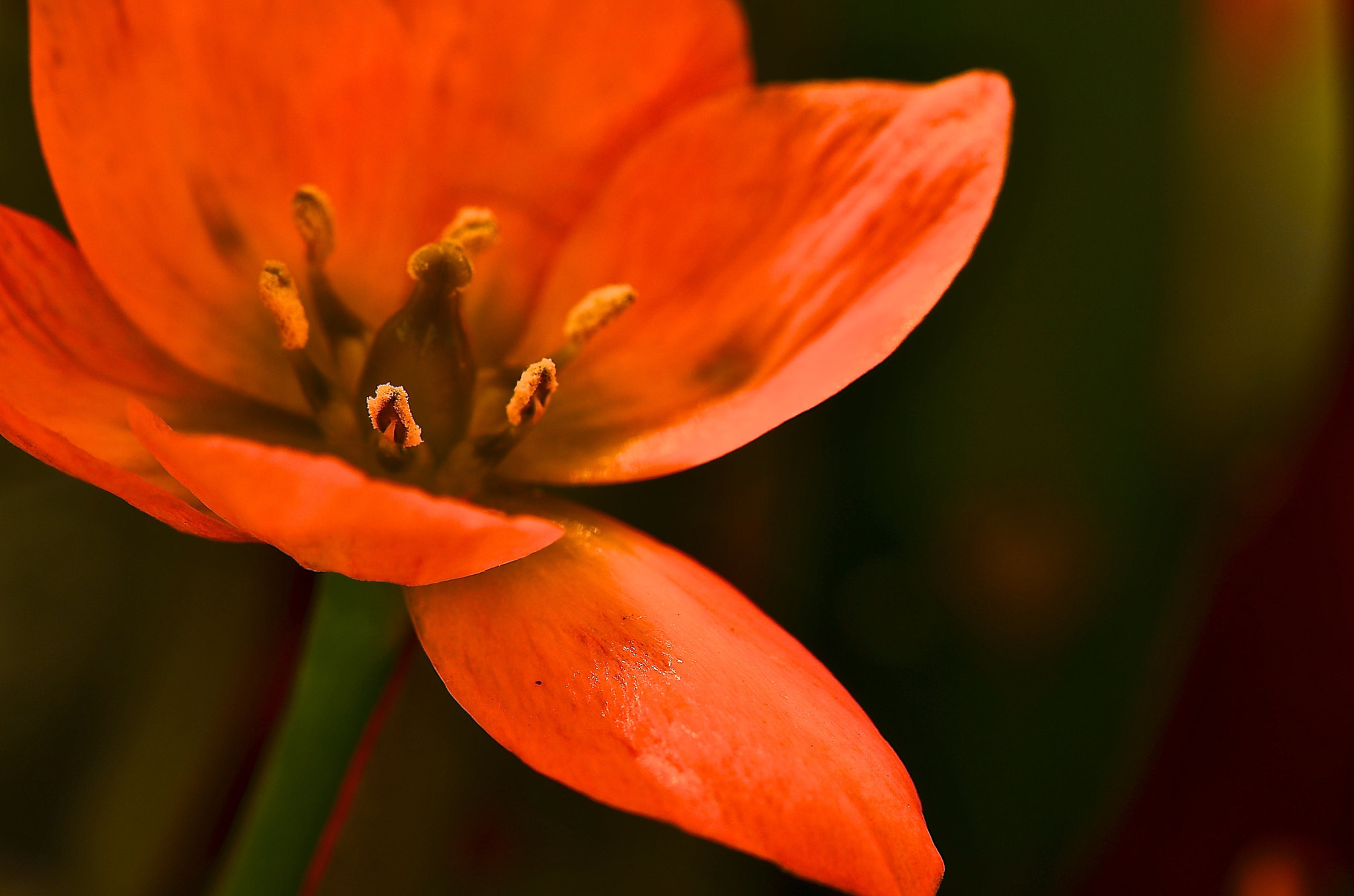 Photograph Orange Star Of Bethlehem  by Frank Vacante  on 500px