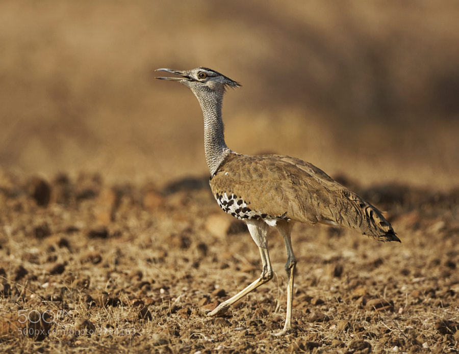 Africa's heaviest flying bird taken in the Tuli Block, Botswana