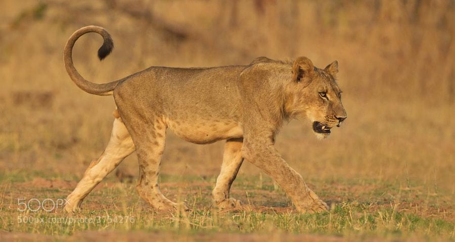 This sub-adult male was found walking with his family along the shore of Lake Kariba, at sunset. Matusadona National Park, Zimbabwe