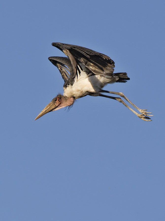 This Maribou Stork was diving down from the top of a tree to the ground in Hwange National Park, Zimbabwe