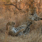 Постер, плакат: Leopard Fight