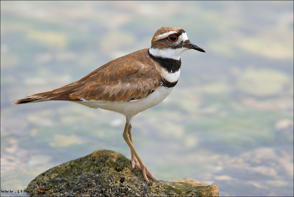 Photograph Killdeer (Charadrius vociferus ternominatus) by Gyorgy Szimuly on 500px