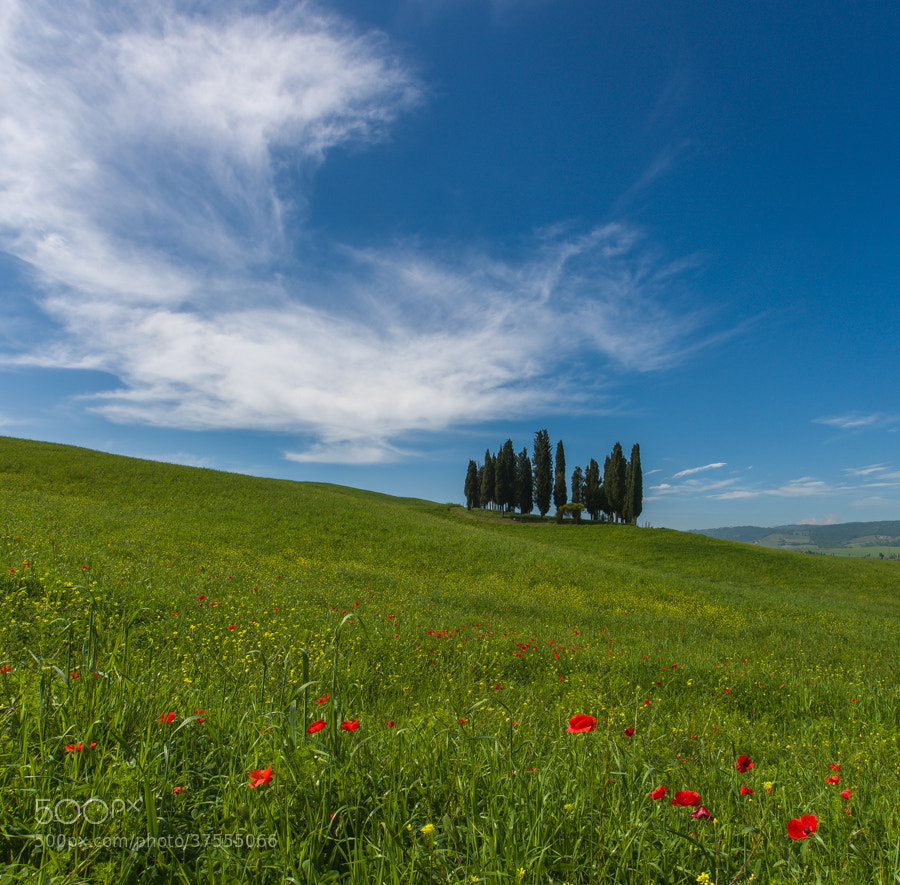 Photograph Poppies and cypress trees in Tuscany by Hans Kruse on 500px
