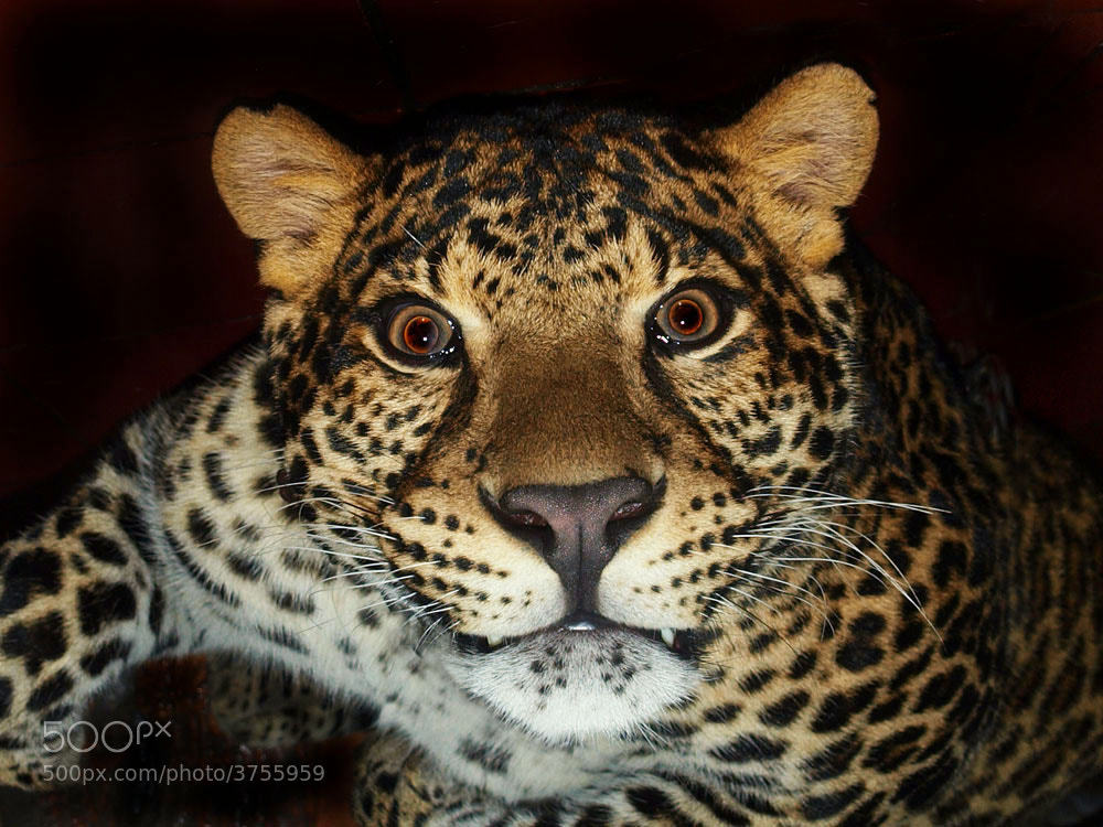 Photograph the curious big cat by Irawan Subingar on 500px