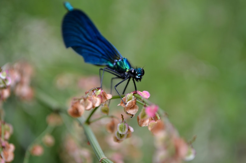Photograph Calopteryx virgo by Anne-Sophie Bonin on 500px