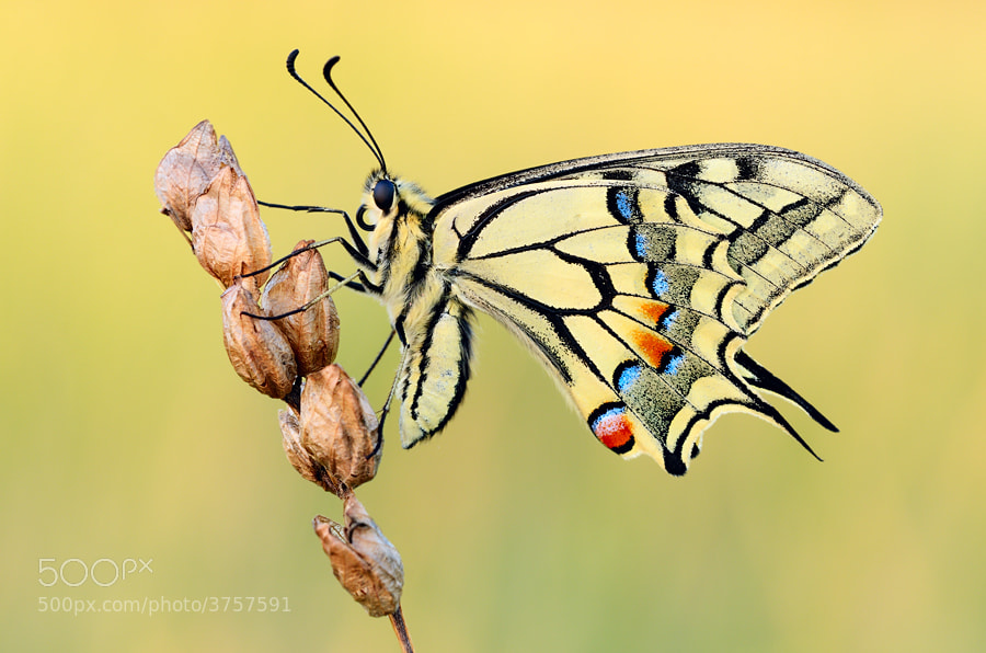 Photograph swallowtail by Martin Amm on 500px