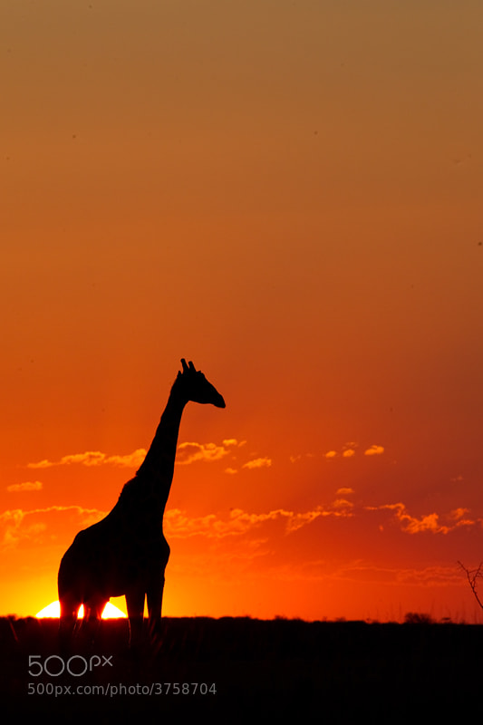 Photograph Giraffe Silhouette by Hendri Venter on 500px