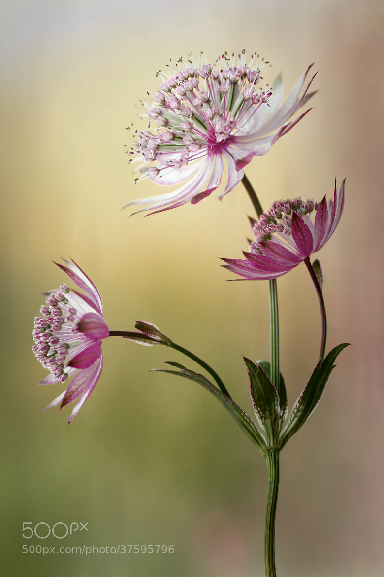 Photograph Astrantia by Mandy Disher on 500px