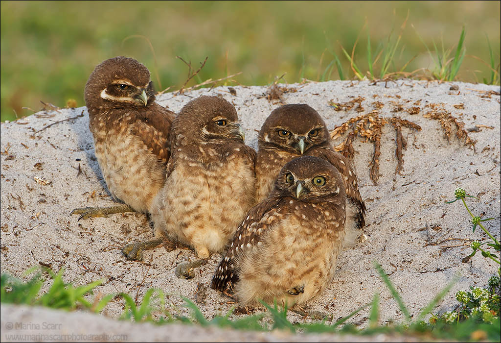 Photograph We Are Family...Burrowing Owls by Marina Scarr on 500px