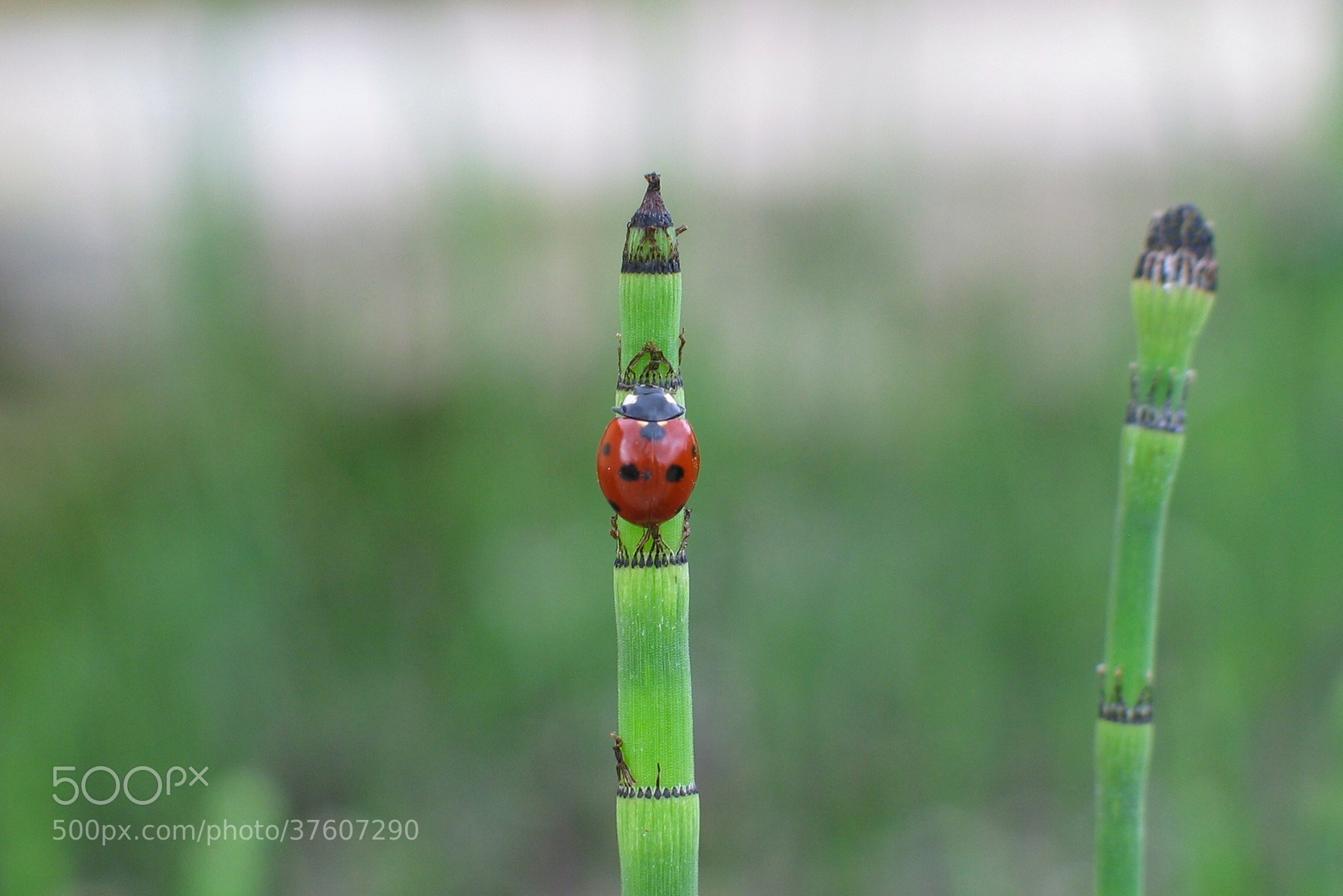 Photograph ladybug on reed by kayla lister on 500px