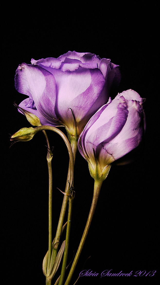 Photograph Beautiful in Violet...... by Silvia Sandrock on 500px