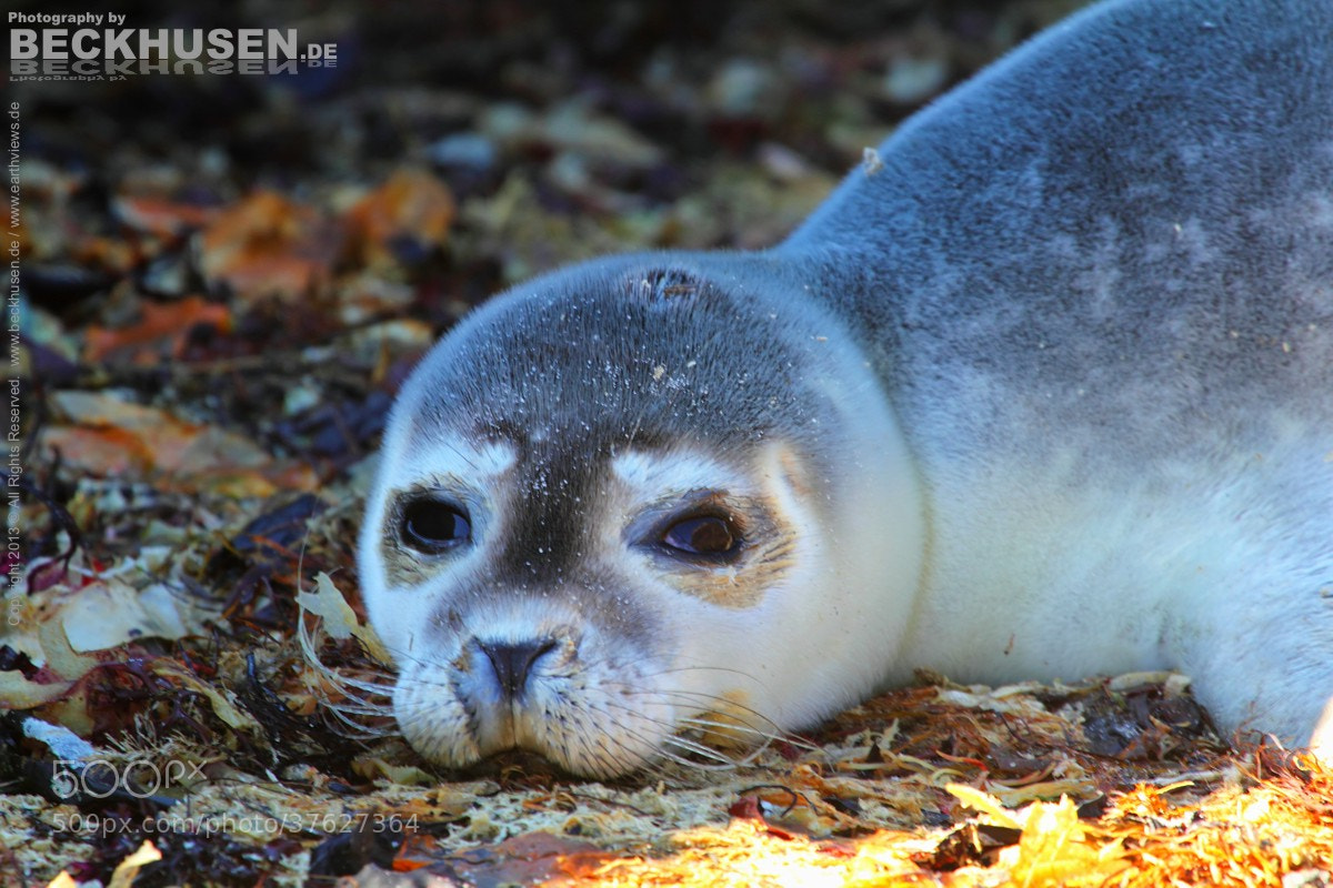 Photograph Baby Seal 2489 by Stefan Beckhusen on 500px