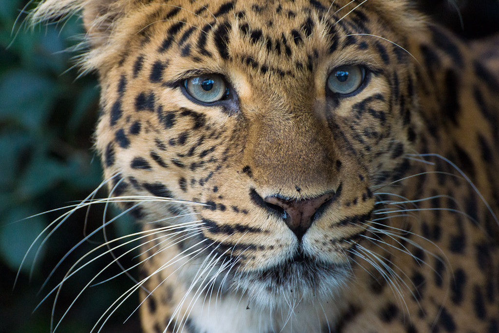 Photograph North Chinese Leopard by Mohamed Khalil El Mahrsi on 500px