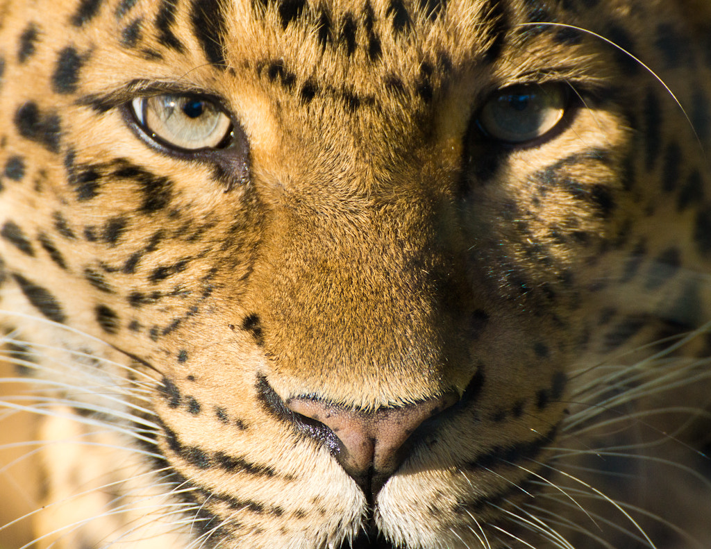 Photograph Eyes of the Panther by Mohamed Khalil El Mahrsi on 500px