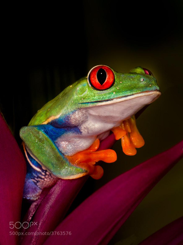 Photograph Green eyed tree frog by Gloria Matyszyk on 500px