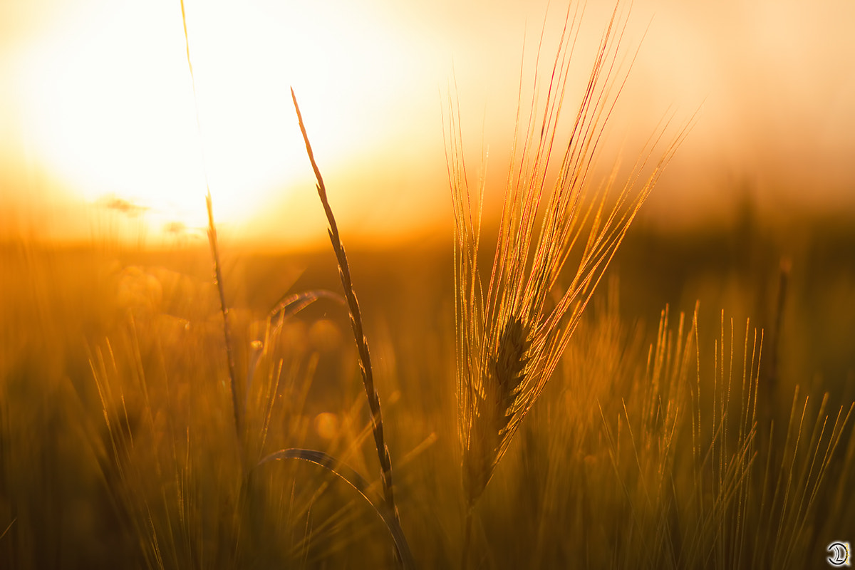 Photograph wheat by Daniel Lang on 500px