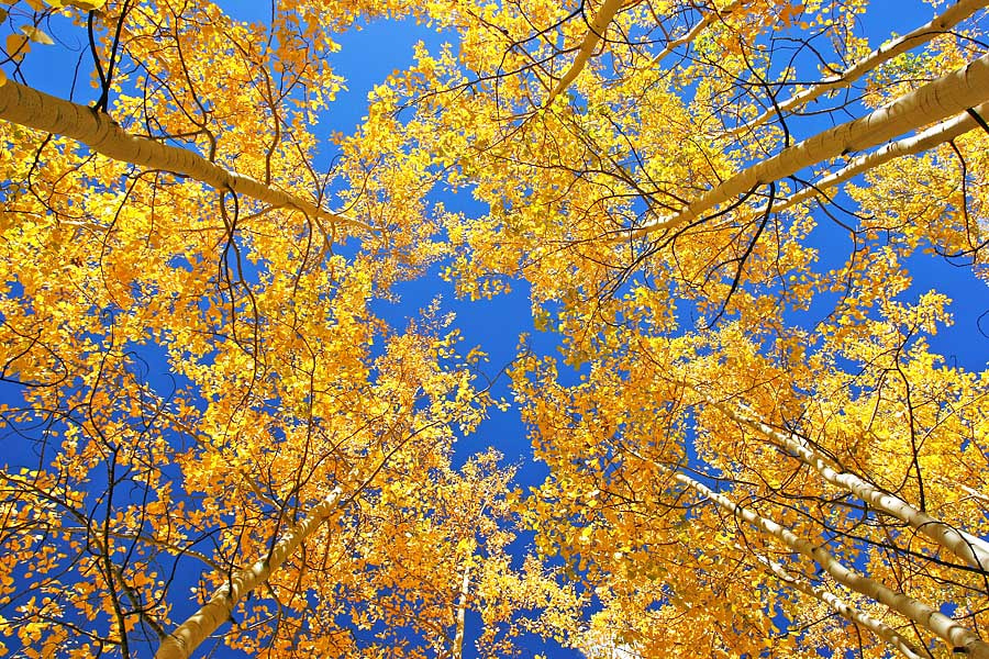 Photograph Colorado Aspens by Bill Langton on 500px