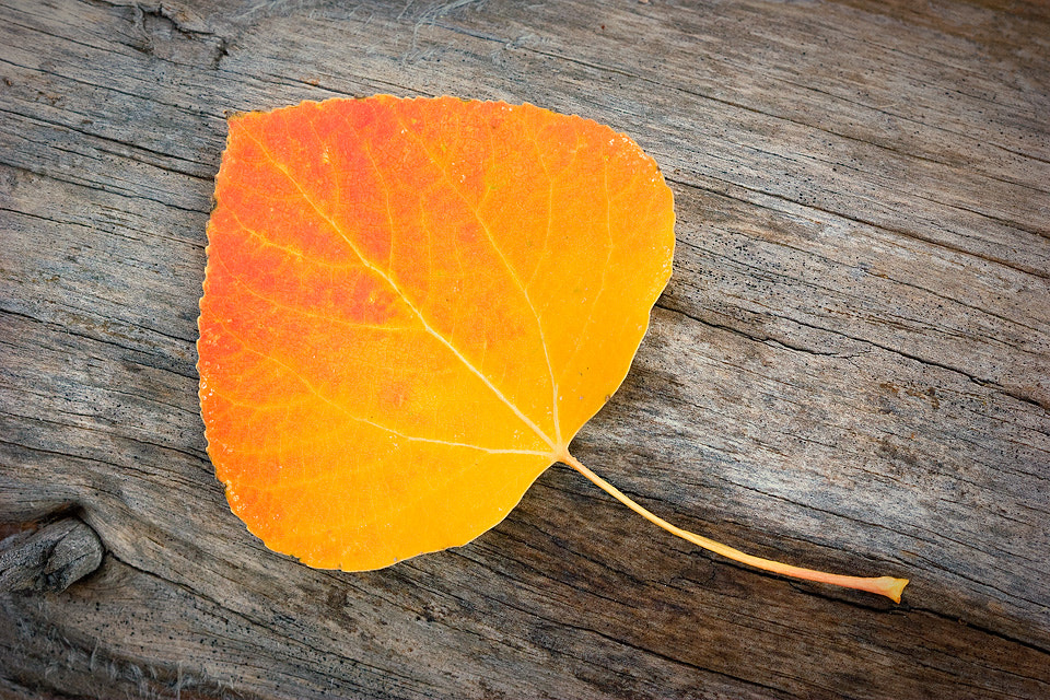 Photograph Lone Aspen Leaf by Bill Langton on 500px