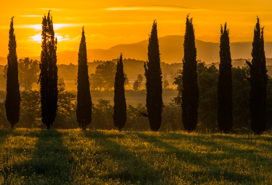 Photograph Cypresses in morning light.  by Hans Kruse on 500px