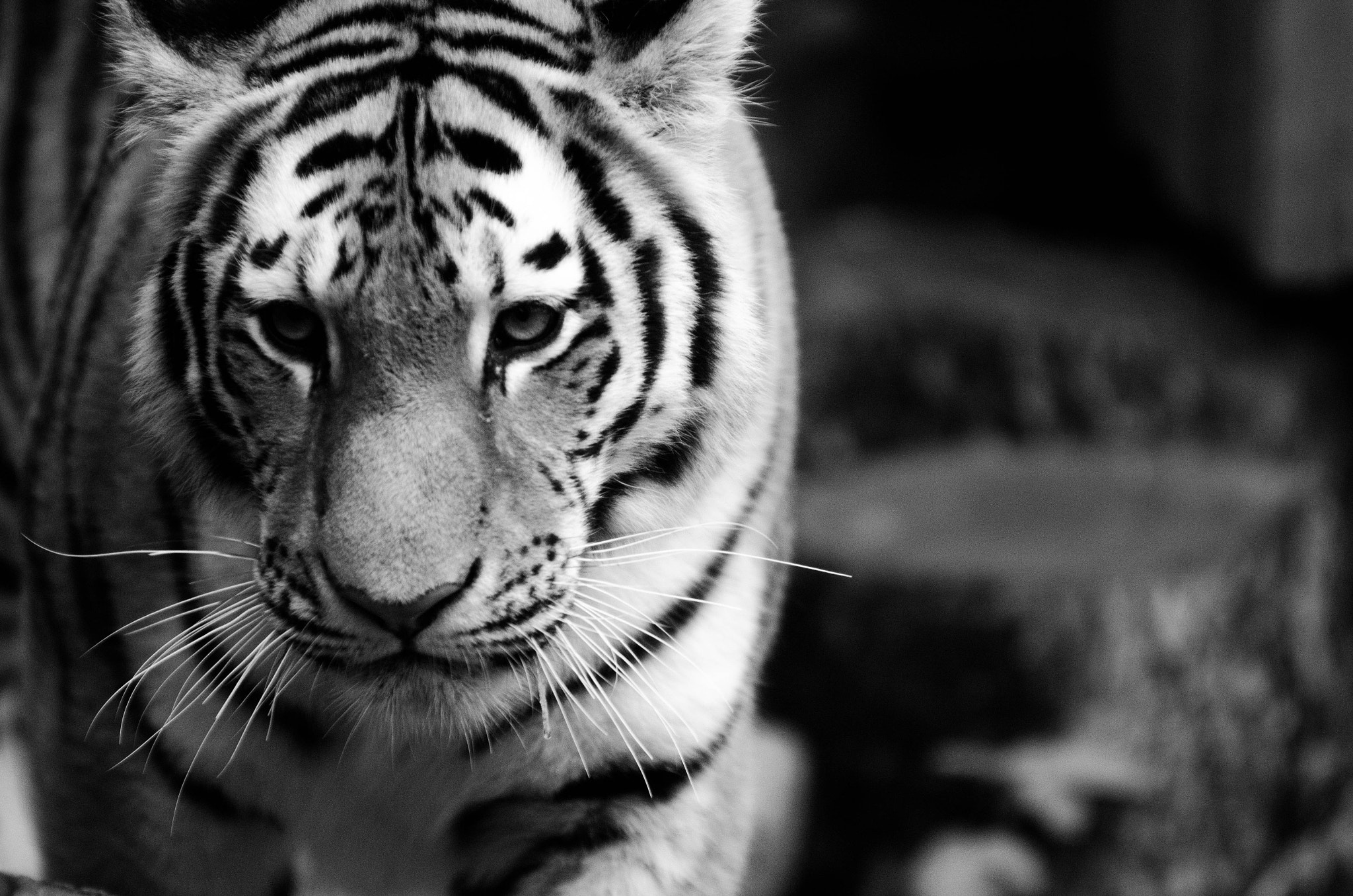 Photograph Siberian Tiger - Calgary Zoo B&W by Kevin Smith on 500px