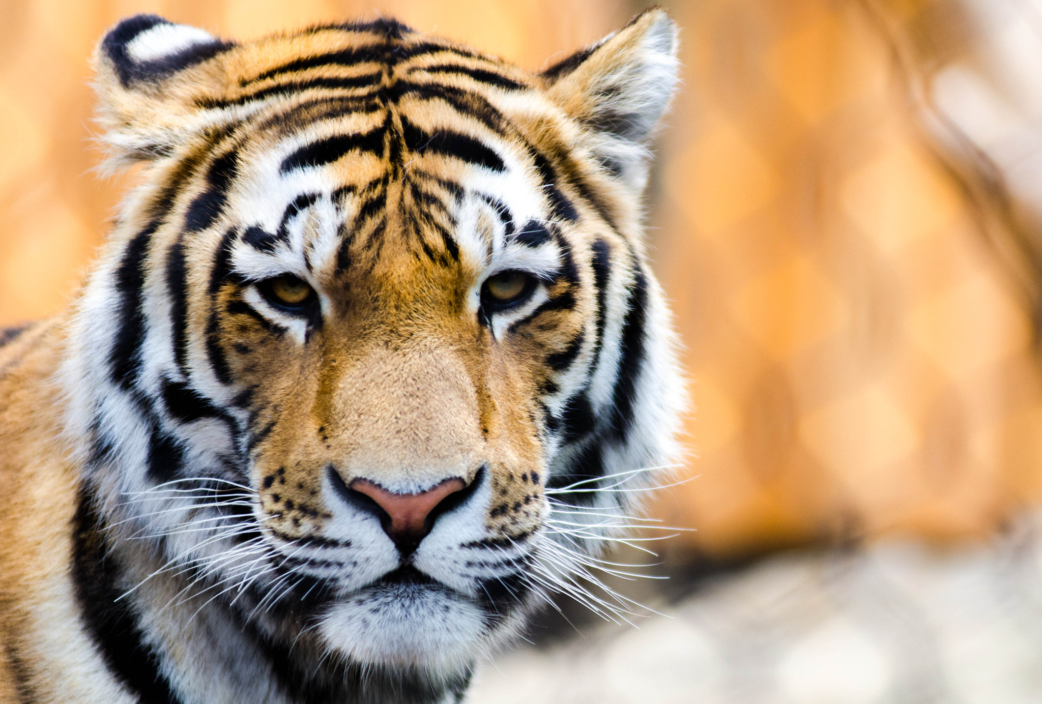 Photograph Siberian Tiger - Calgary Zoo by Kevin Smith on 500px
