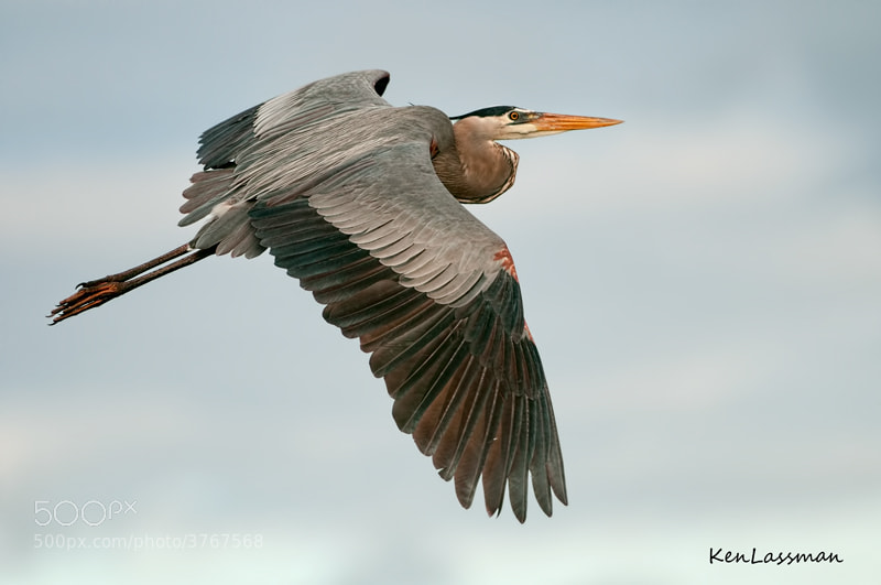 This Great Blue Heron was so close I amost did not get all of him.  This is full frame.  One of my favorites to photograph