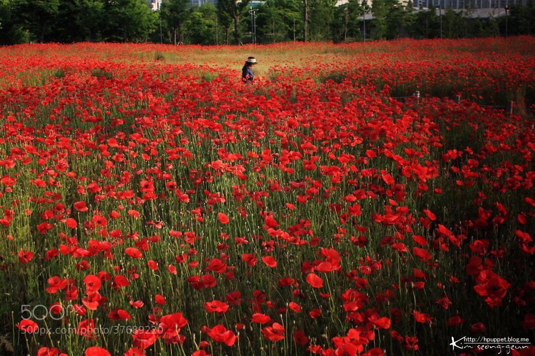 Photograph Poppy by kim seong-geun on 500px