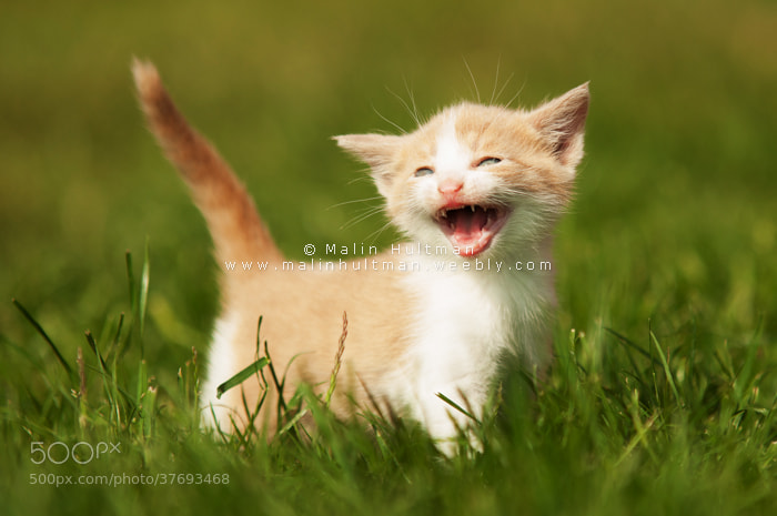Photograph Kitten by Malin Hultman on 500px