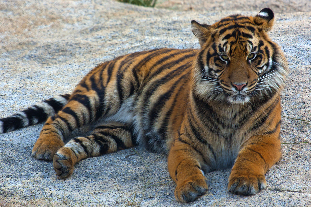 Photograph Sumatran Tiger by KRIVphotos on 500px