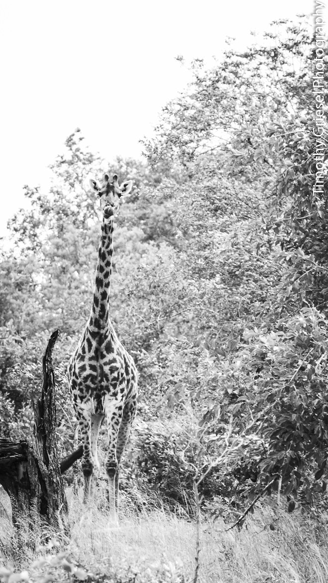 Photograph Giraffe by Timothy Griesel on 500px