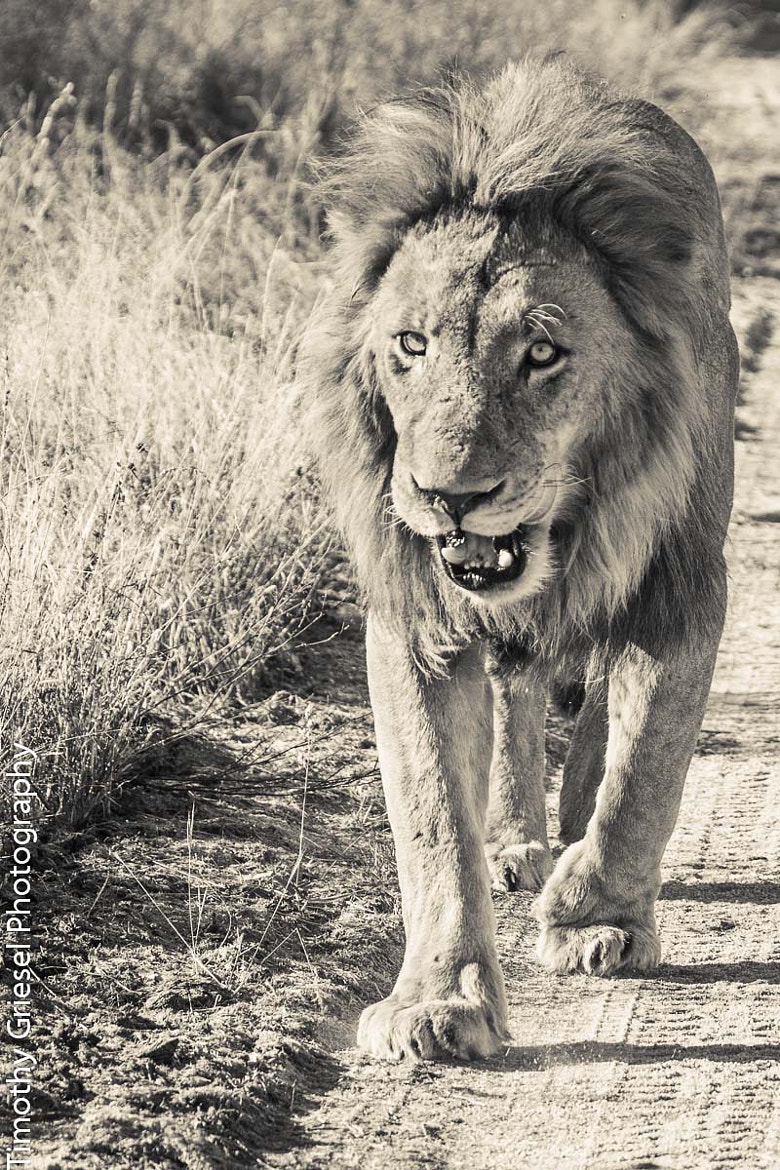 Photograph Male Lion by Timothy Griesel on 500px