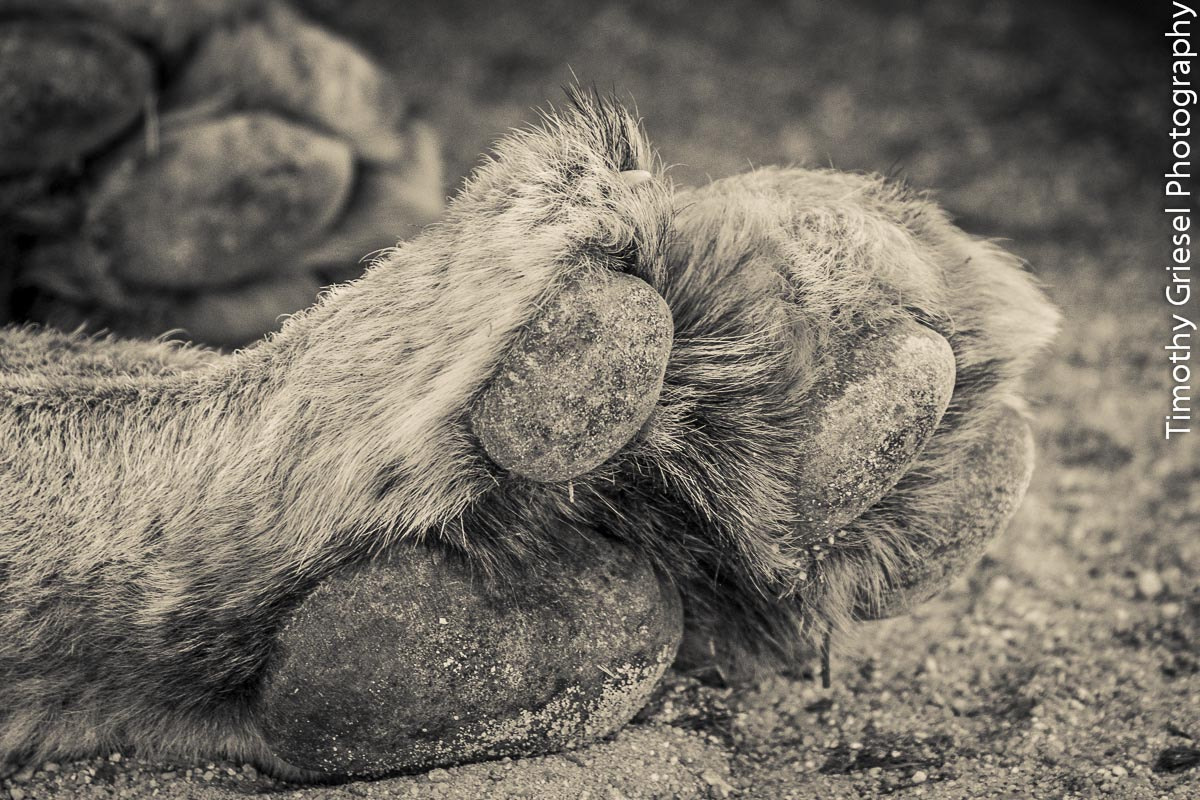 Photograph Stretching Paw by Timothy Griesel on 500px