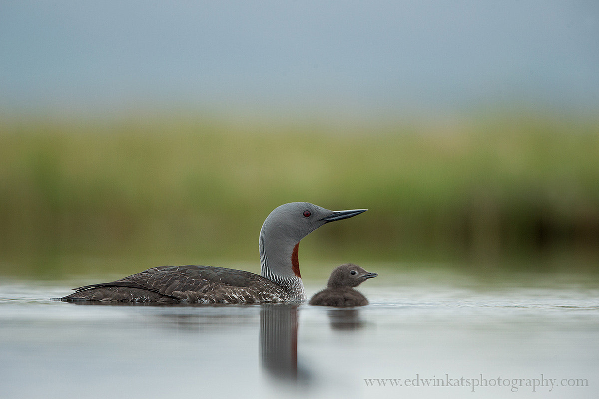 Photograph Red-throated Diver With Chick by Edwin Kats on 500px