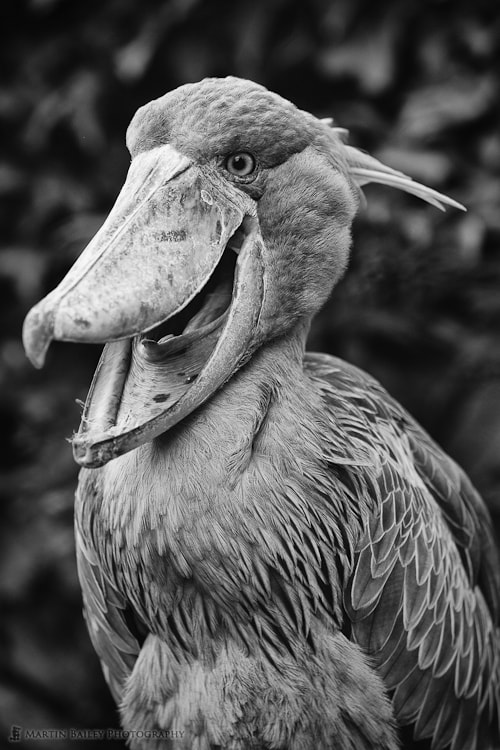 Photograph Shoebill Study #3 [C] by Martin Bailey on 500px