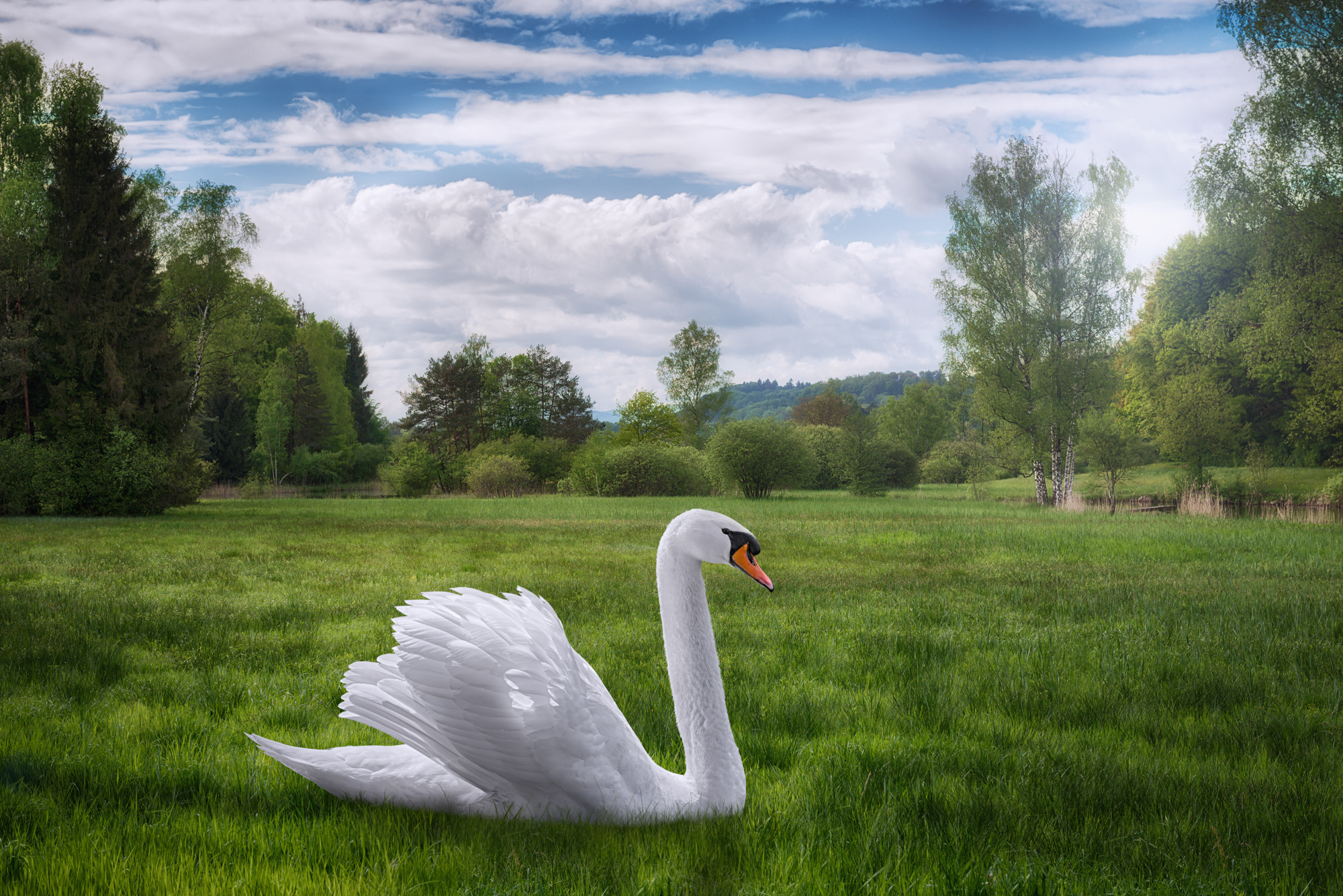 Photograph A stray swan by John Wilhelm is a photoholic on 500px