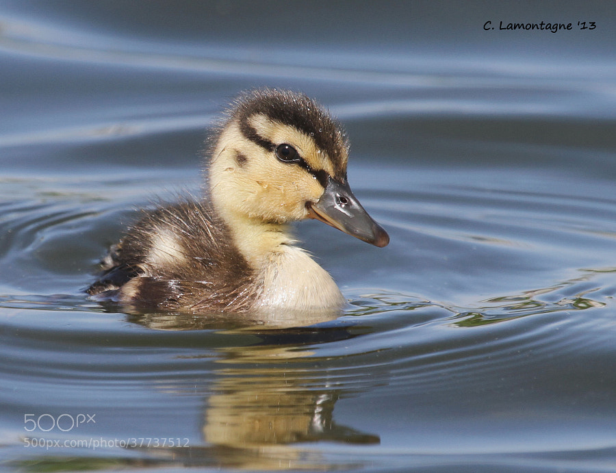 Mallard duckling at a lake near my home. Mom and nine siblings were nearby.