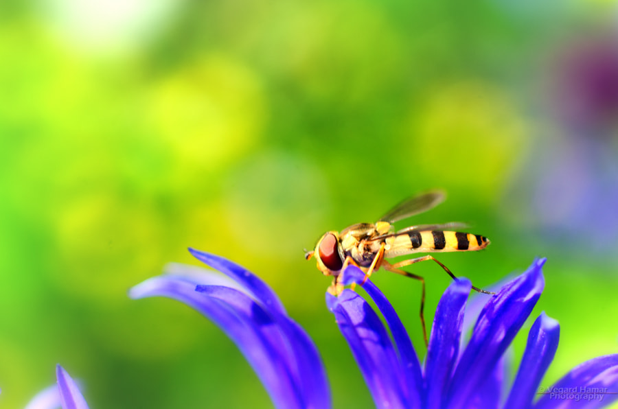 Photograph Hoverfly by Vegard Hamar on 500px