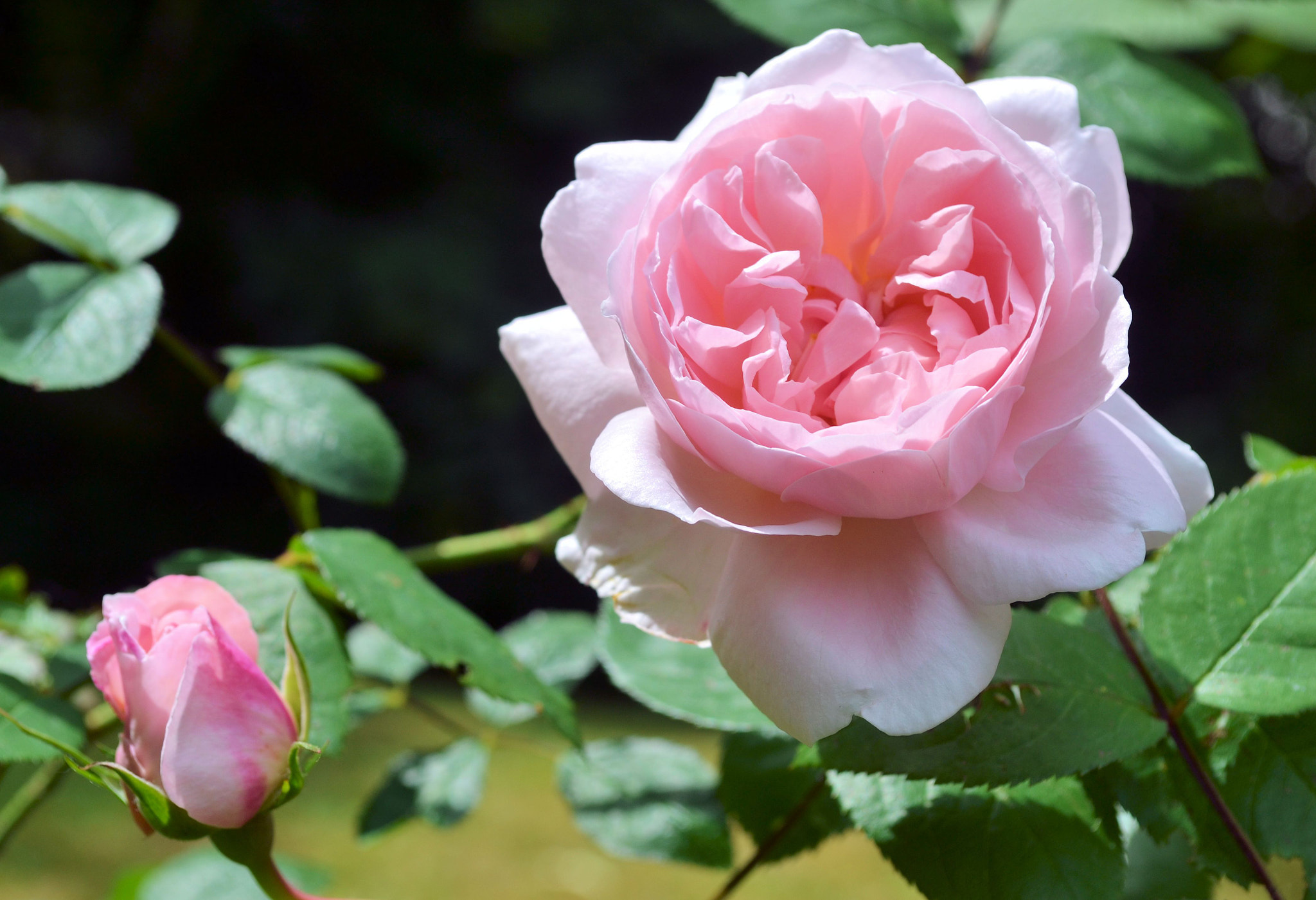 Photograph Pink rose by Heather Aplin on 500px
