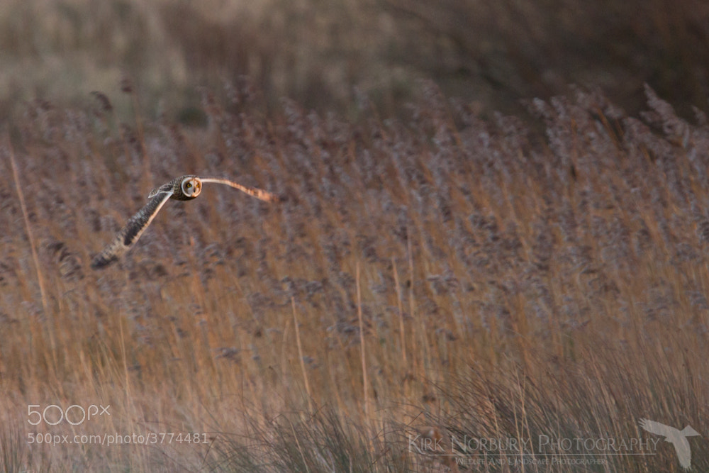 Photograph Short Eared Owl 2 by Kirk Norbury on 500px