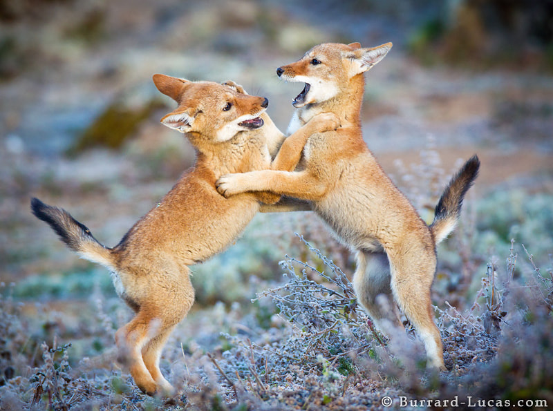 I have just returned from 5 weeks of photographing the endangered Ethiopian Wolves in the highlands of Ethiopia. Here's a photo of a couple of boisterous two-month old pups playing on a frosty morning!
