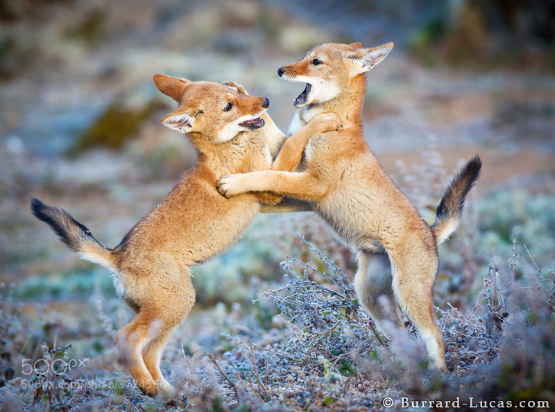 """I have just returned from 5 weeks of photographing the endangered Ethiopian Wolves in the highlands of Ethiopia. Here's a photo of a couple of boisterous two-month old pups playing on a frosty morning!  - <a href=""""http://www.ethiopianwolfproject.com/"""">Ethiopian Wolf Project</a>"""