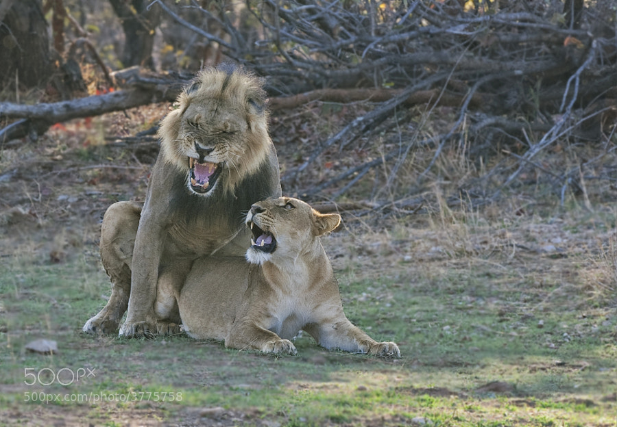 Unfortunately these Lions were sensibly in the shade with the stting sun behind them. Taken in Matusadona National Park, Zimbabwe