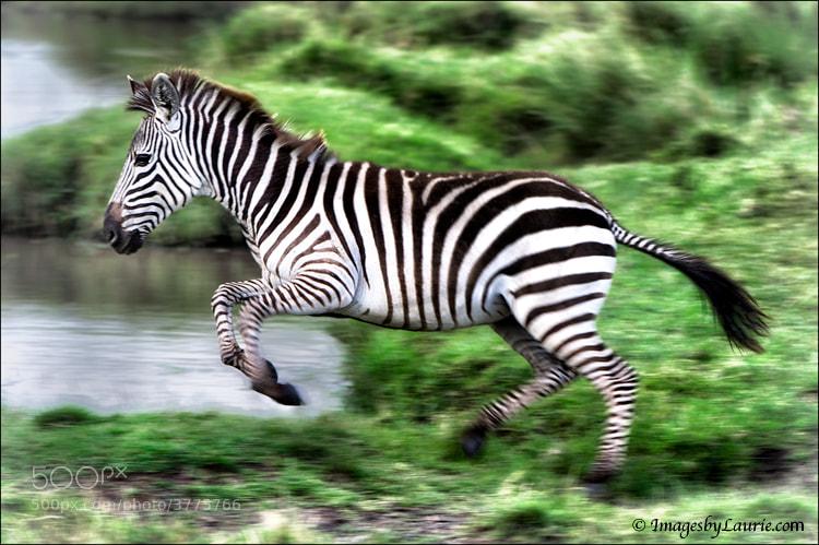 Leaping Zebra (Maasai Mara, Kenya)
