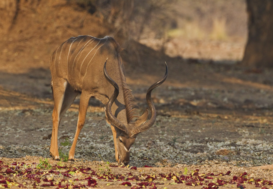 This Male Kudu is eating the fallen flowers from a Sausage Tree, a popoular treat for lots of animals.  Taken in Chikwenya concession, Zimbabwe.