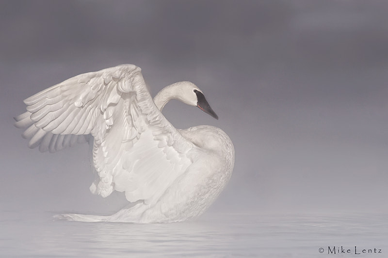 Photograph Trumpeter Swan in the mist by Mike  Lentz on 500px