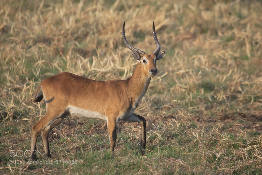 I cannot really see much difference between this and a Red Lechwe, but I am now expert. Taken in Kafue National Park, Zambia