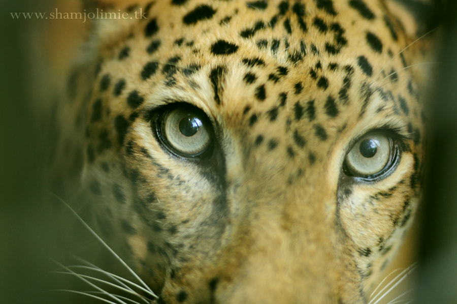 Photograph Young leopard by Sham Jolimie on 500px